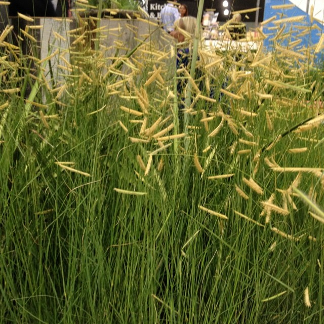 Bouteloua gracilis, blue grama grass is a great alternative to the invasive Mexican needlegrass, Nasella tenuissima, also called Stipa tenuissima.  #dwellondesign  @agrowingpassion
