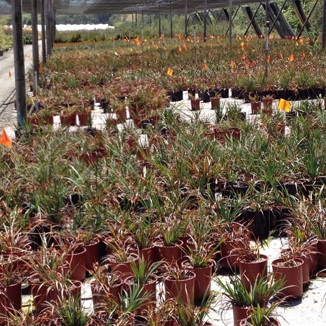 #PacificCoastIris as far as I can see. #suncrestnursery !  @agrowingpassion