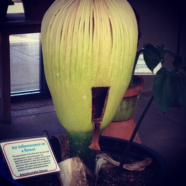 #amorphophallustitanum the #stinkyplant at #TheHuntington  this is the plant that has a stinky bloom!  @agrowingpassion