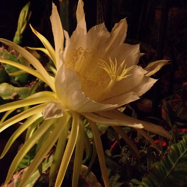 #bloomingtonight.  Pitajaya, #dragonfruit aka #nightbloomingcereus are in the epiphyllum family. The bloom only opens at night and measures about 13