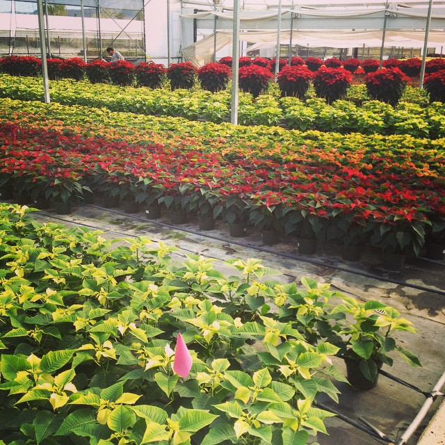 Holiday poinsettias almost ready for market #OnLocation #armstronggrowers  @agrowingpassion