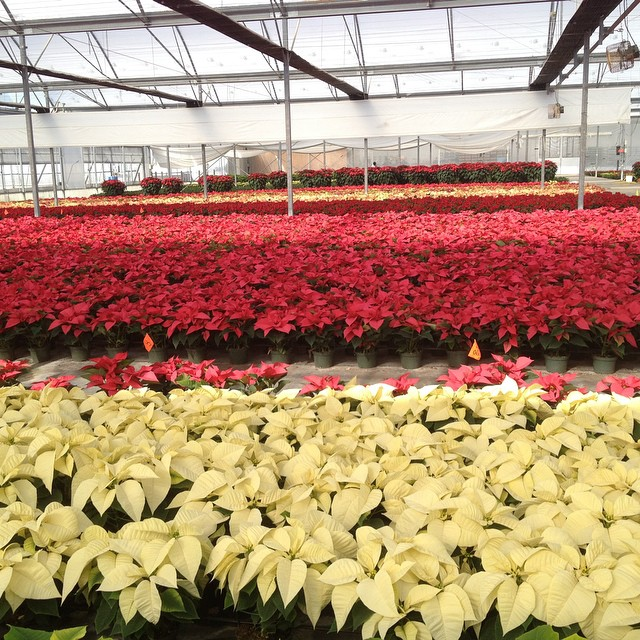 Acres and acres of poinsettias almost ready to go#OnLocation at #armstronggrowers  @agrowingpassion