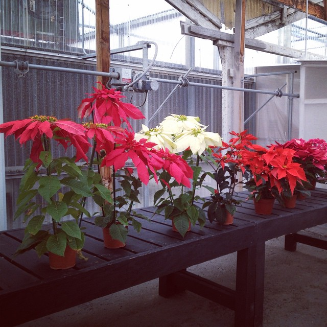 Ninety years of poinsettia breeding @EckeRanch. Very cool!  #shooting today #onlocation @agrowingpassion