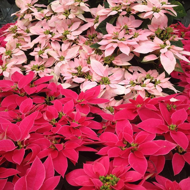 #Poinsettia minis for your desktop or table from@#EckeRanch @agrowingpassion