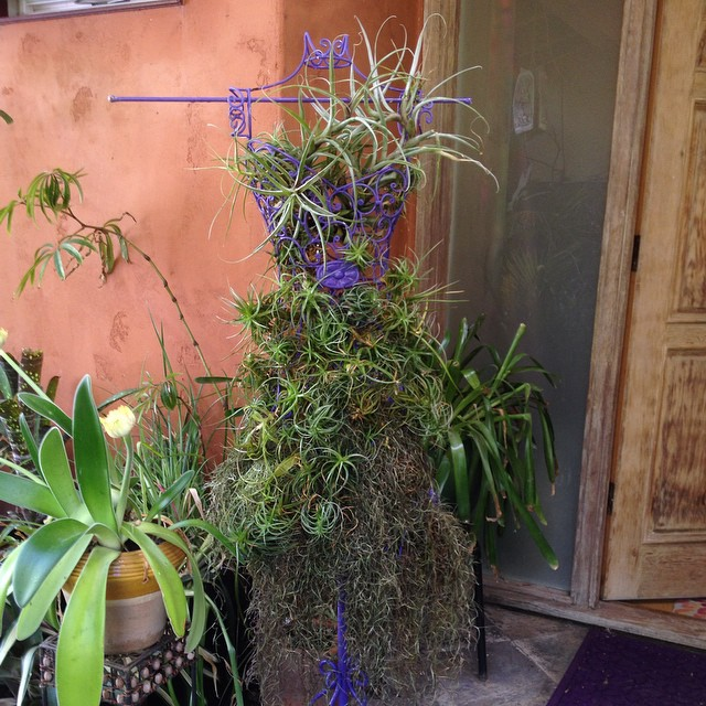 Tillie enjoyed a holiday #makeover inspired by fellow #plantgeek and #Tillandsia lover Michael Gerdes' gift of #Spanish moss. Michael is responsible for the gorgeous video on #agrowingpassion. Now Tillie is ready to welcome #Thanksgiving guests! @agrowingpassion