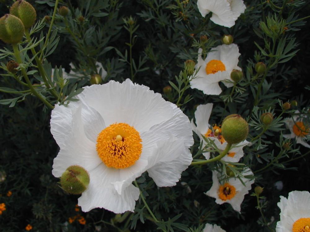 A growing passion grow a fried egg plant matilija poppy a a big fried egg sized bloom mightylinksfo