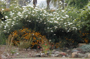 Matilija poppies are not for small gardens.  Their massive spread is suited for slopes and large spaces. Three one-gallon matilija poppy plants quickly grew into this glorious mass  in Nan Sterman's garden. © Nan Sterman, 2001