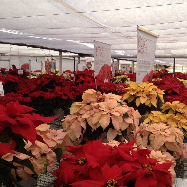#Poinsettia trials at #EckeRanch. This poinsettia show is for growers and wholesalers. These are mostly new varieties proposed for the 2015 holiday season and beyond.  @agrowingpassion
