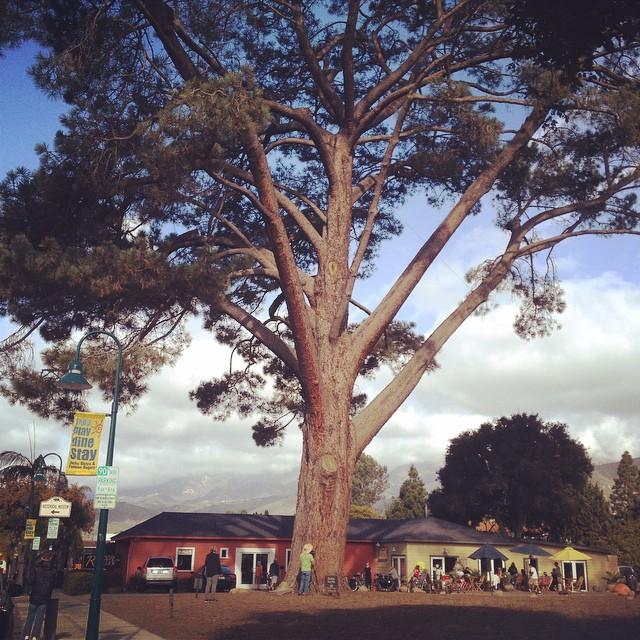 The biggest #TorreyPine in the world?  #TodaysShoot  #OnLocation in #Carpinteria #California. @agrowingpassion