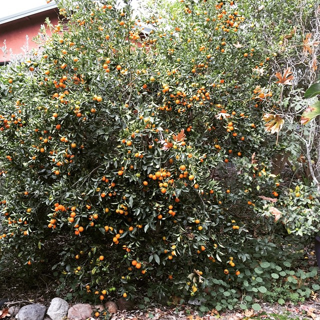 So exited to see the kumquat tree #loadedwithfruit. Yum!  Winter is a wonderful time for #citrus in the garden. @agrowingpassion
