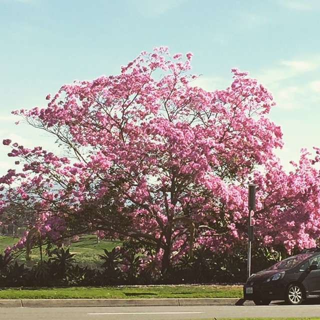 Saw this amazing pink cloud of flowers today on Park Blvd in #BalboaPark. It is a Tabebuia tree in full glorious bloom. Catch it if you can. There are three or four blooming like this.  Everyone was stipping to take photos.  #bloomingtoday  @agrowingpassion