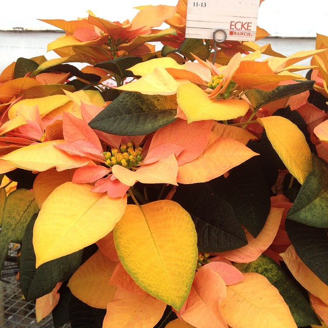 Golden #Poinsettia from #EckeRanch  @agrowingpassion