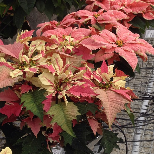 Beautiful new #Poinsettia from #Ecke. Look for this one in 2015. @agrowingpassion