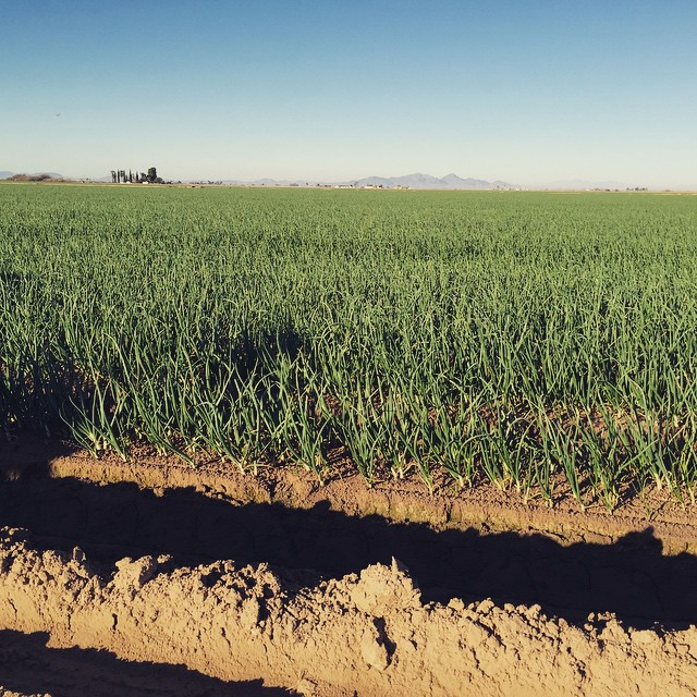 Irrigating onions at #FisherRanch in Blythe California as ee explore the path of water #onlocation #shootingtoday @agrowingpassion