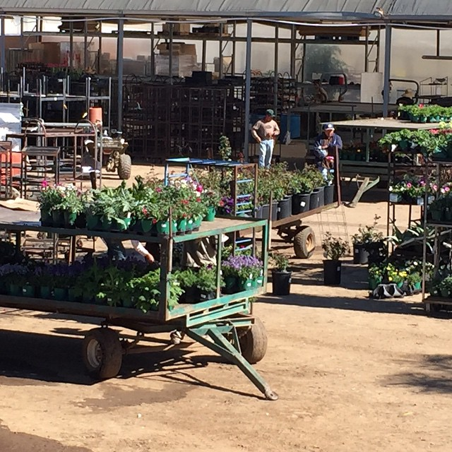 Plants waiting to be shipped to your local nursery. #onlocation #shootingtoday at #ArmstrongGrowers.  @agrowingpassion