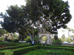 India laurel fig in Alcazar garden