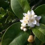 Citrus' small white flowers are intensely fragrant.