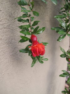 The swelling at the base of the pomegranate flower is the beginning of a pomegranate fruit.