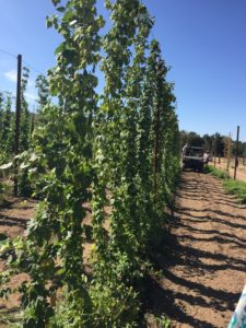 Hops growing at Star B Ranch and Hops Farm, San Diego's largest hops grower