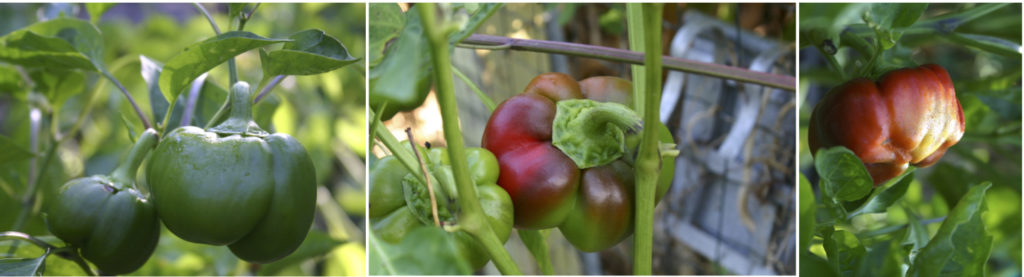 Three images of Pritavit bell peppers