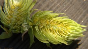Hops cone with lupulin, the flavoring