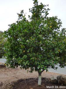 Water citrus weekly or every ohter week