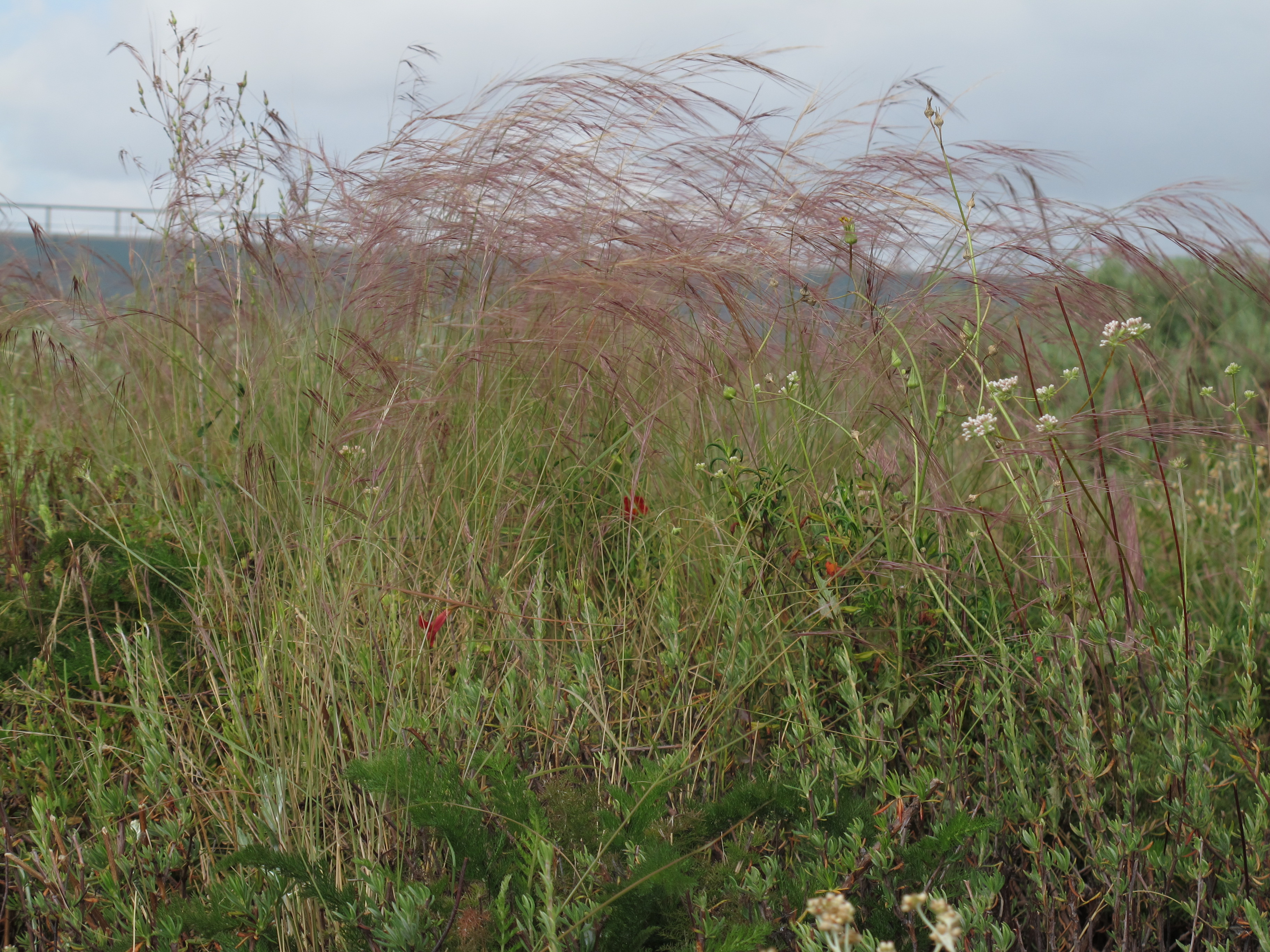 A Growing Passion Mexican needlegrass - Don't Plant This ...